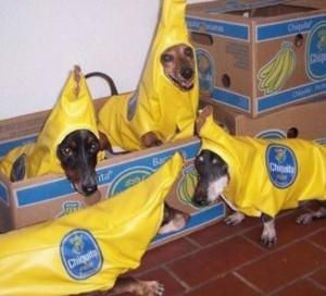 banana dachschund