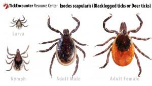 Black Legged Deer Tick