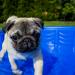 Thumbnail for Heat Stroke in Dogs